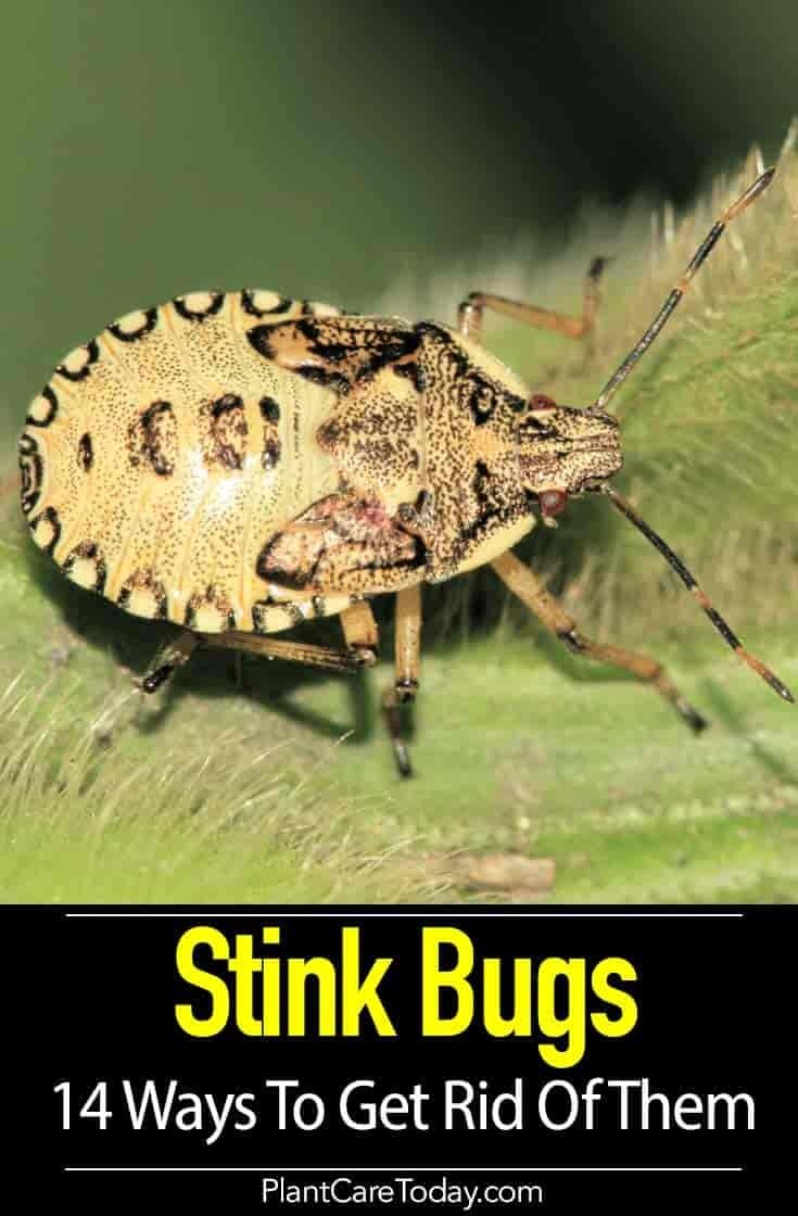 Have you tried these 14 ways to get rid of stink bugs in