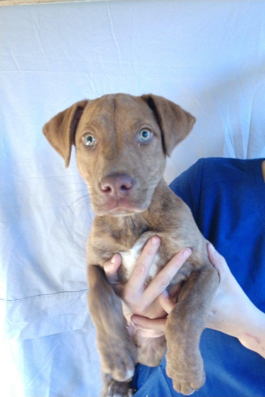 Adopt Prancer Dec 22nd Event On Prancer Labrador Retriever Mix Animal Rescue