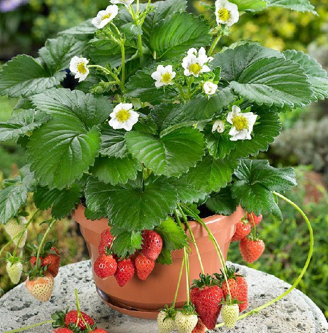 Not Only The Vegetables But Fruits Can Be Grown In Pots Too Here Are 14 Best To Grow Containers