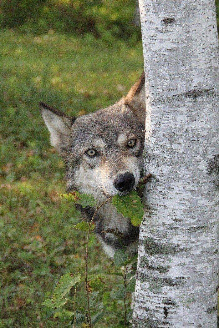 День, веселый волк картинки