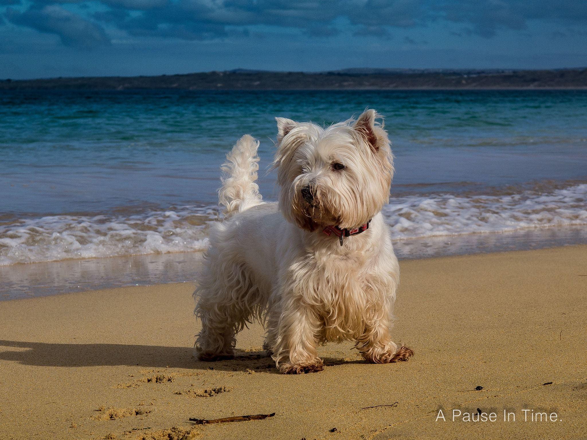 Billy At Porthminster Beach St Ives Cornwall West Highland
