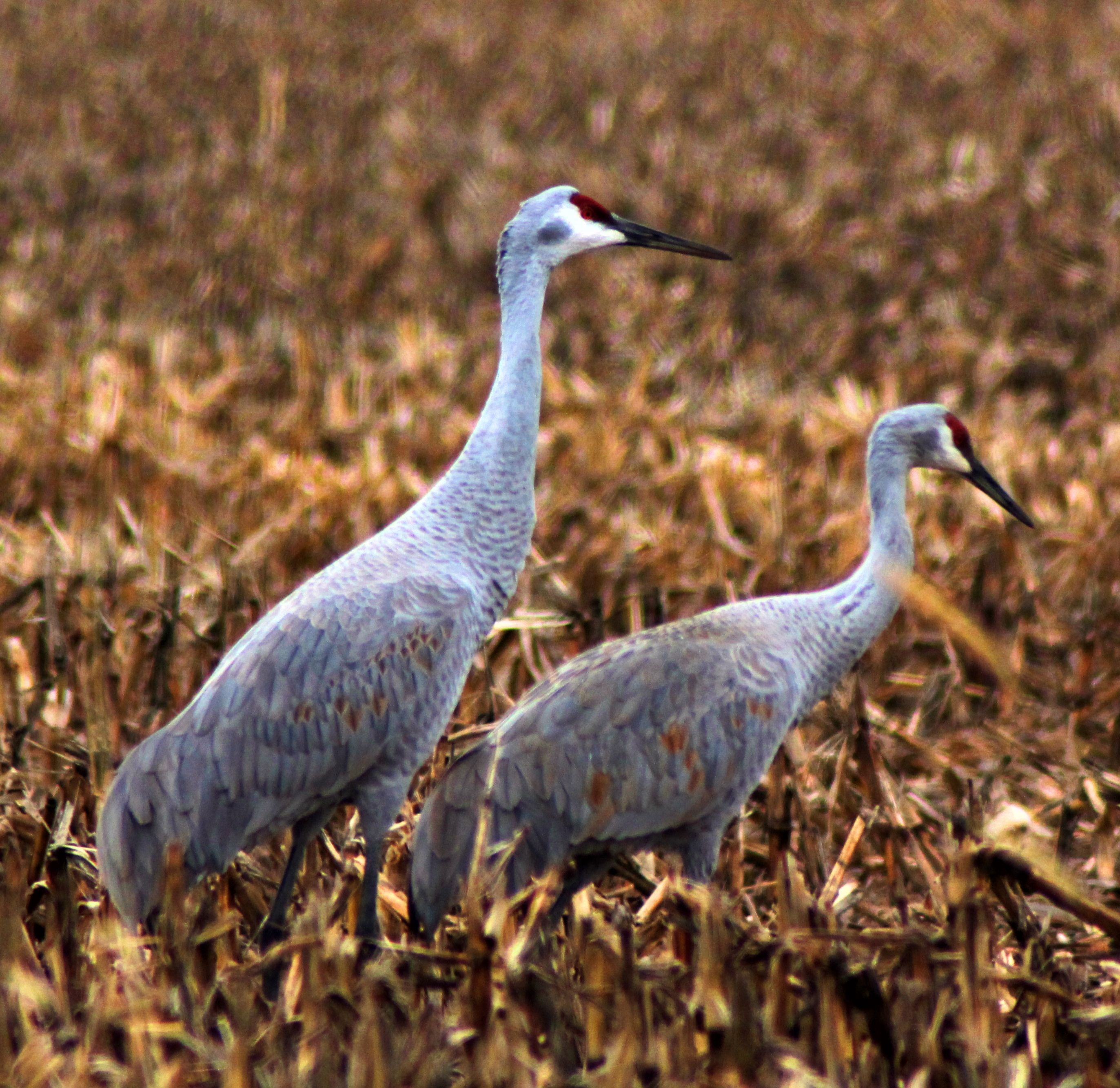 Indiana Backyard Birds   Share