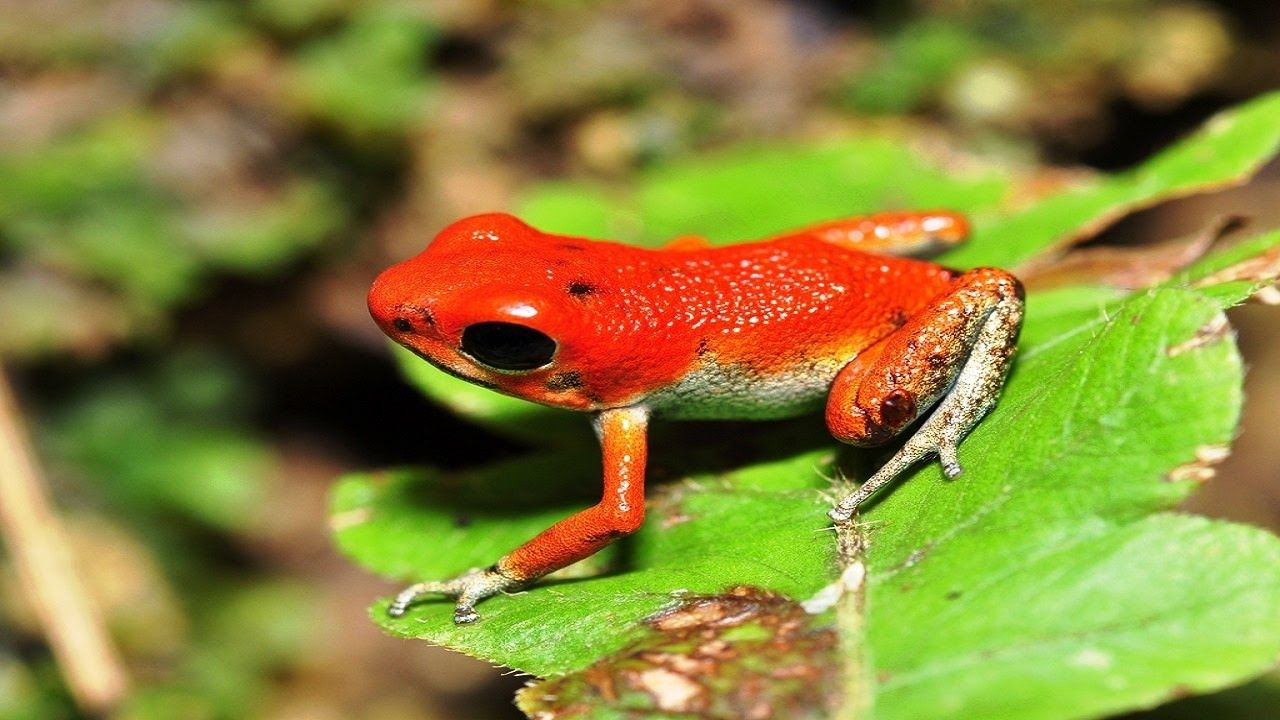Top 10 Beautiful Moment Of Strawberry Poison Dart Frog