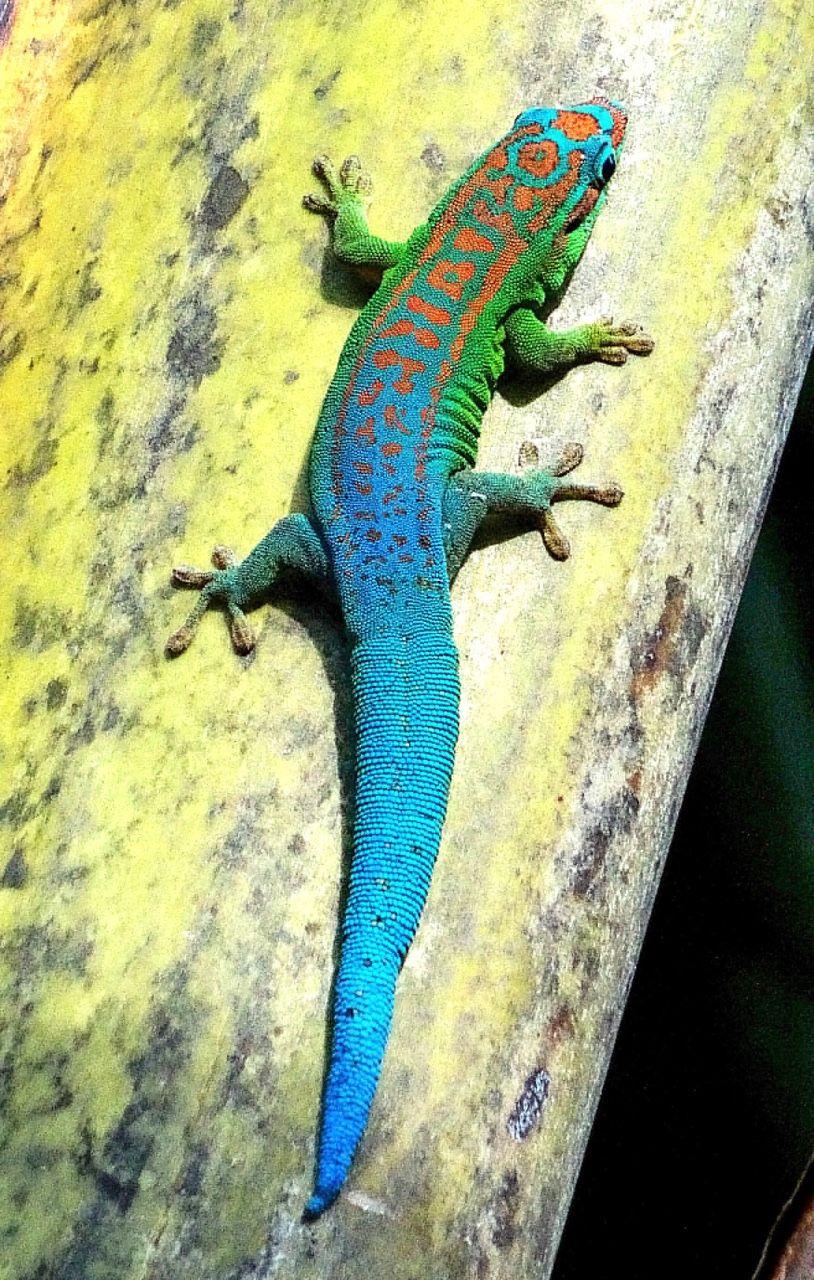 gecko diurno de cola azul phelsuma cepediana endémico de isla