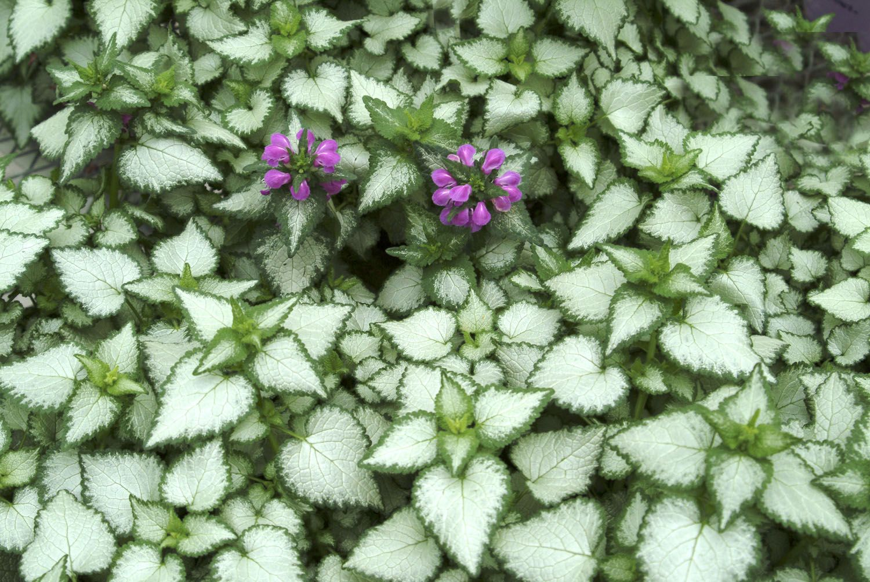Purple dragon dead nettle lamium maculatum 39 purple dragon for Purple flower ground cover perennial