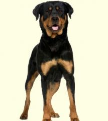 Rottweiler Mix Puppies For Sale In De Md Ny Nj Philly Dc And Baltimore Rottweiler Dog Dog Breeds Rottweiler Dog