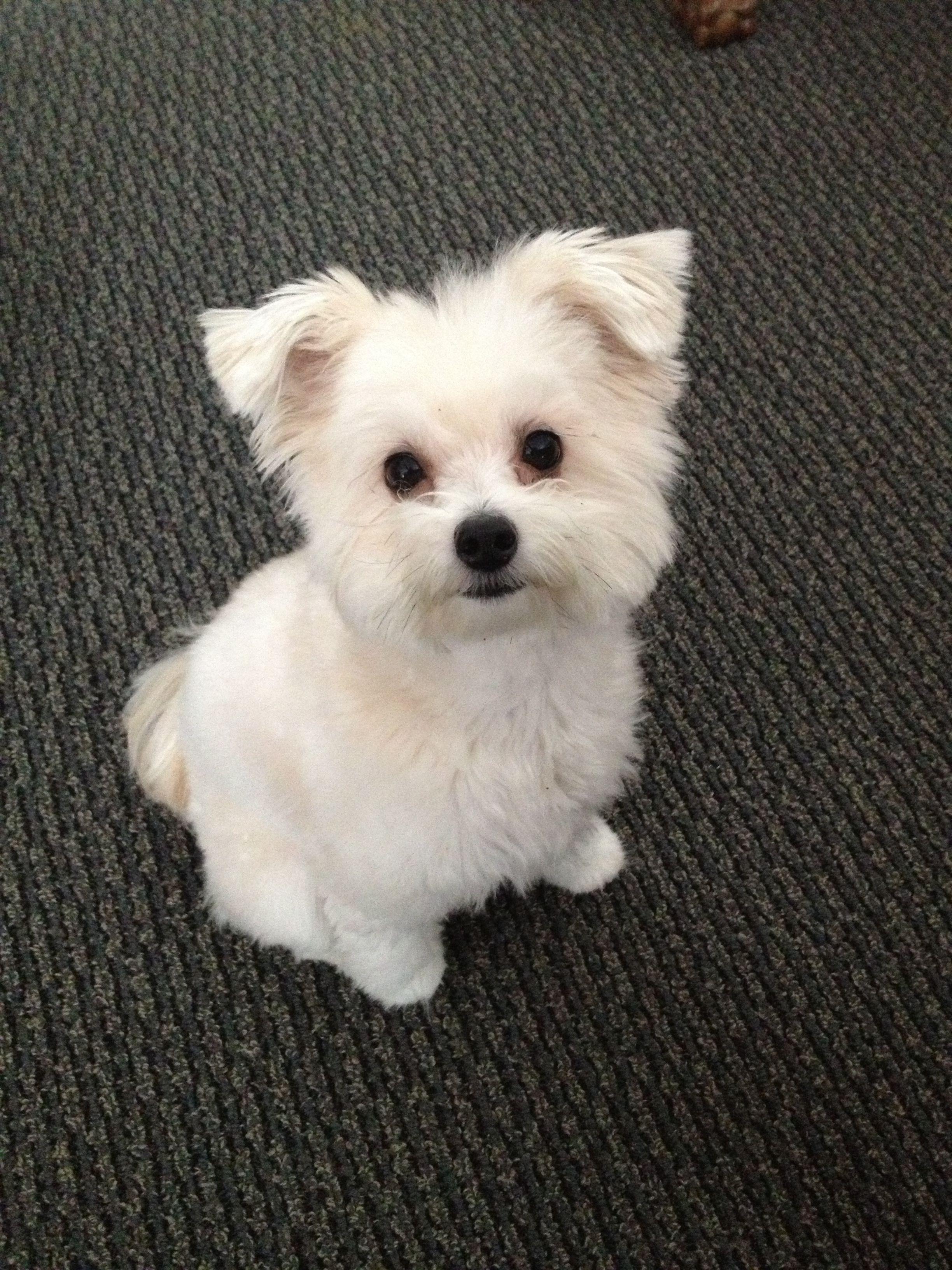 Pomapoo | Pet dogs puppies, Cute animals, Puppy breath