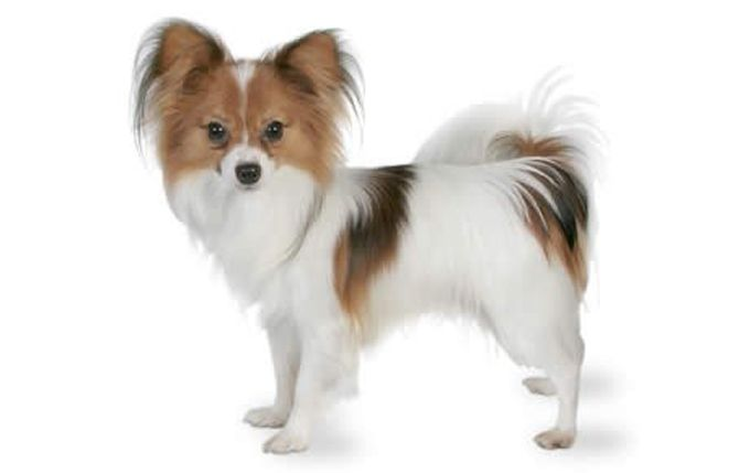 Top 32 Small Breeds That Make Good Apartment Dogs Dogtime Papillon Dog Dog Breeds Pappillon Dog