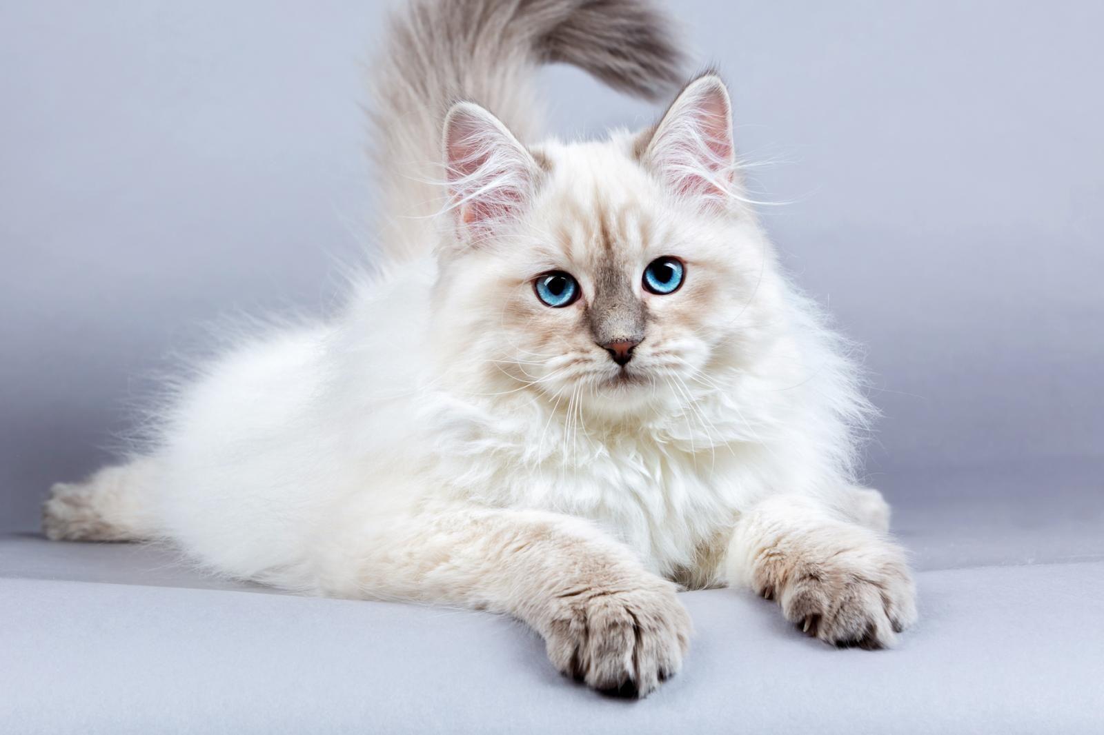 siberian cat siberian cat hypoallergenic siberian cat