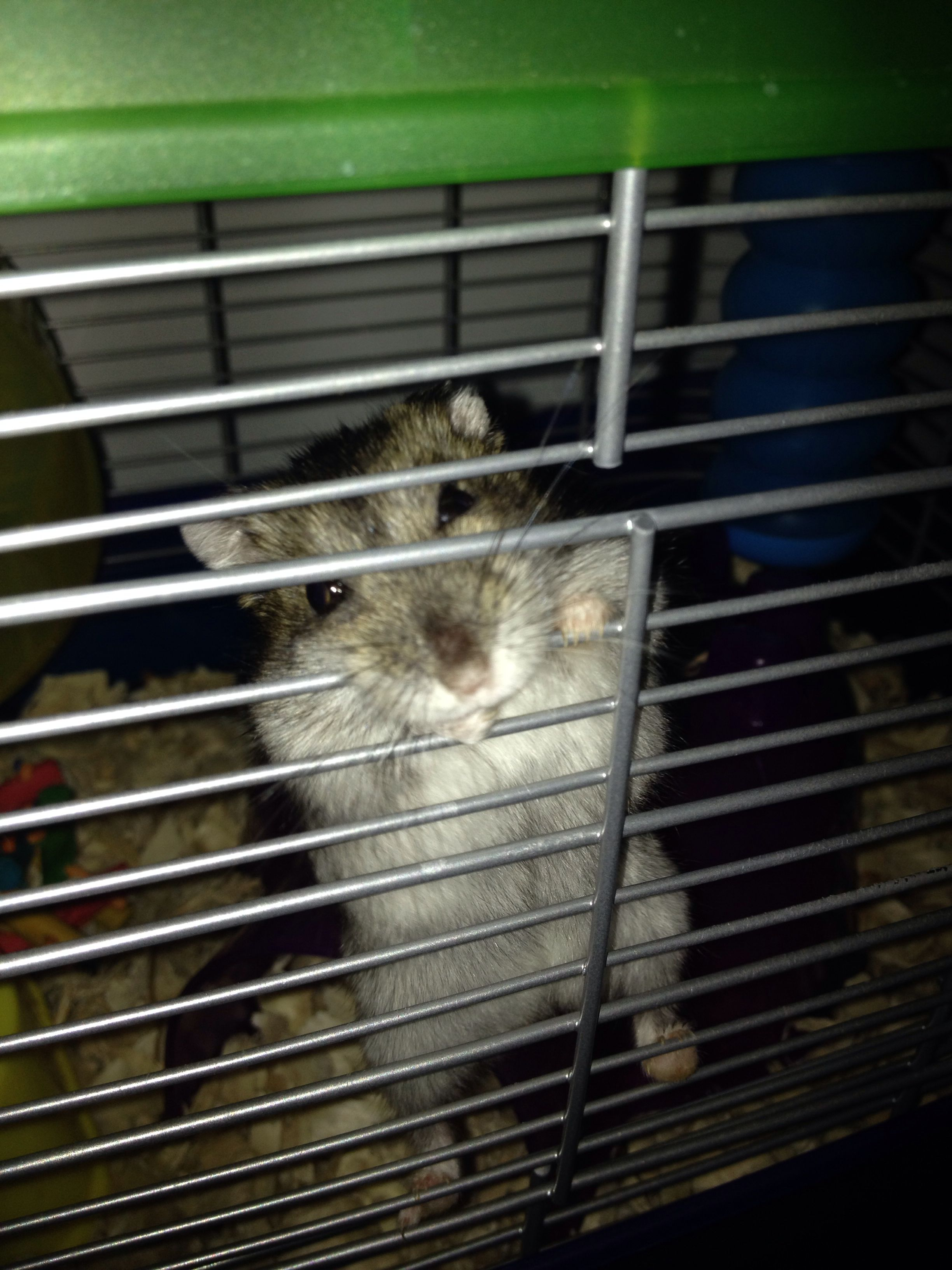 My dwarf hamster likes to bite the cage wire. Is this normal? Fellow pinners- help me out :/