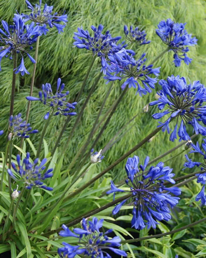 Little Blue Fountain Agapanthus Shop With Plantsbymail Com In 2020 Southern Living Plant Collection Perennial Plants Southern Living Plants