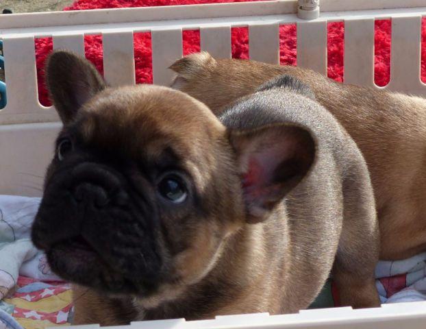 De Calida Reg D French Bulldogs French Bulldog Puppies Bulldog