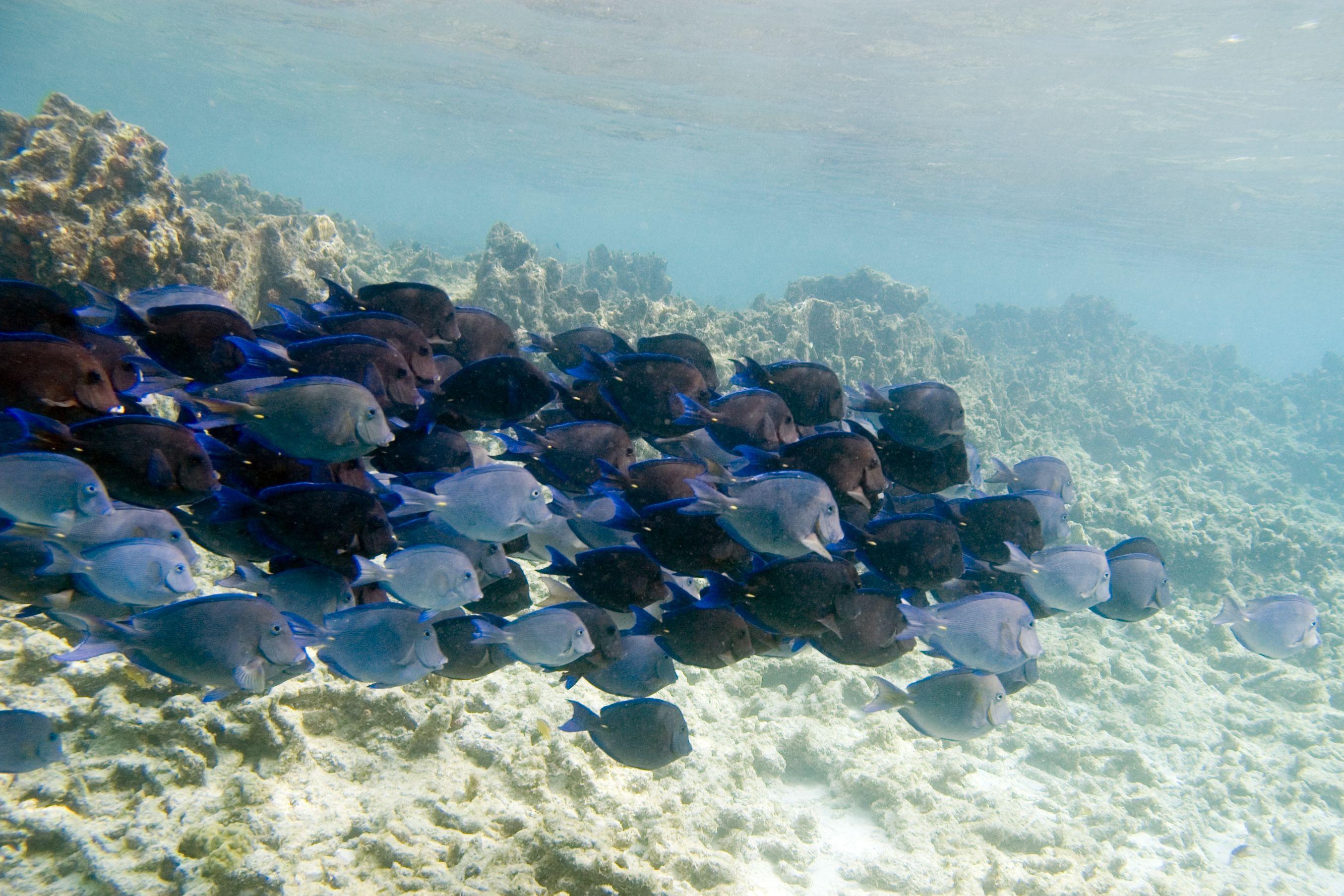 Acanthurus Coeruleus Caribbean Or Atlantic Blue Tang Caribbean Blue Tang Blue