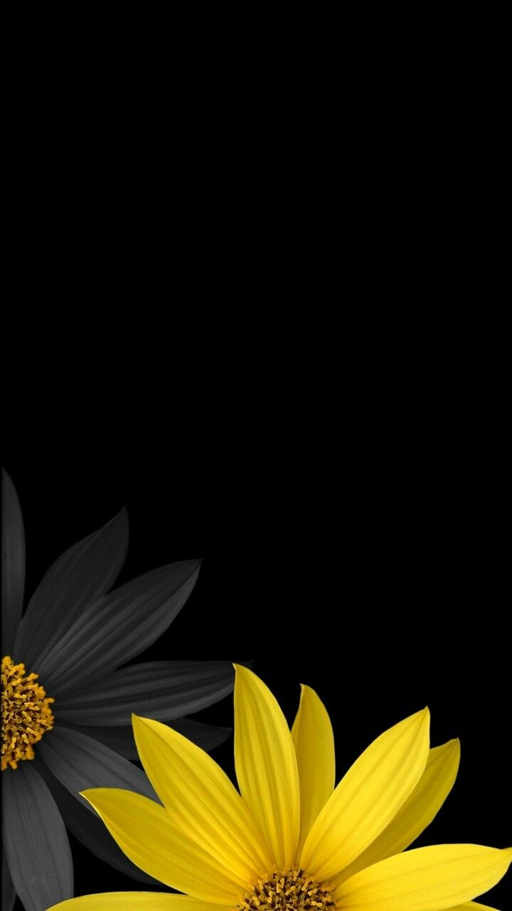 Beautiful Flowers Flower Background Wallpaper Sunflower Wallpaper Black Background Wallpaper