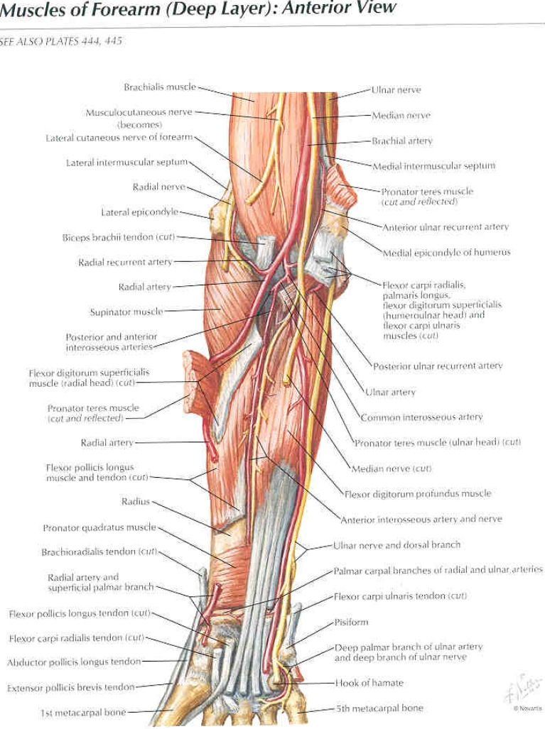 Deep muscles of the forearm and elbow - Netter | Med stuff ...