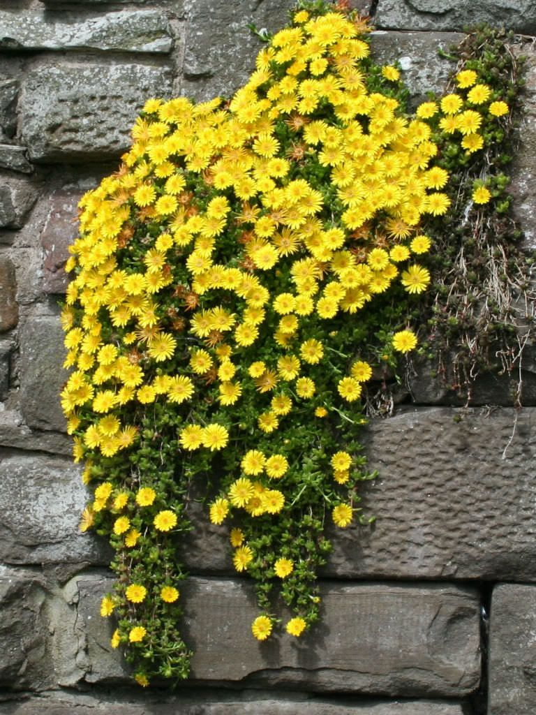 Delosperma nubigenum hardy yellow ice plant gardening delosperma nubigenum hardy yellow ice plant forms a low mat of succulent leaves bearing loads of small starry yellow flowers in late mightylinksfo