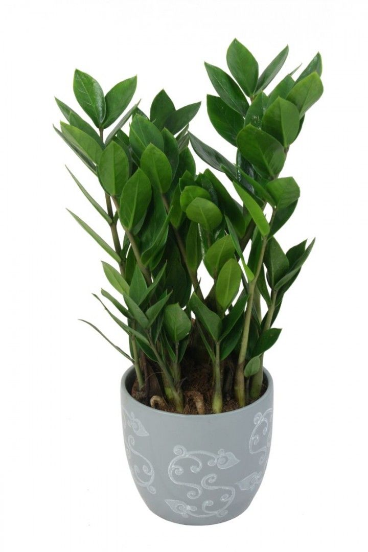 Zamiokulkas Zamiolistny Zamioculcas Zamiifolia Succulents Indoor Plants Planting Succulents