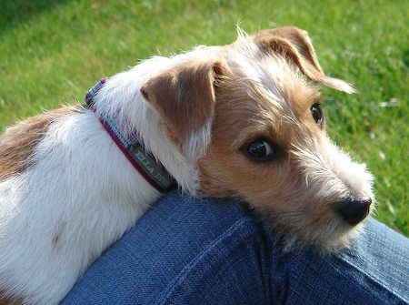 Jack Russell Terrier Pictures And Images Jack Russell Jack Russell Terrier Parson Russell Terrier