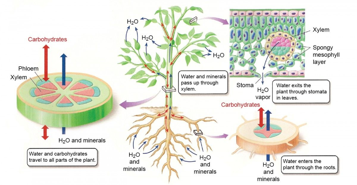 10. Transport System in Organisms E-learning - Diffusion ... |Osmosis In Plant Roots