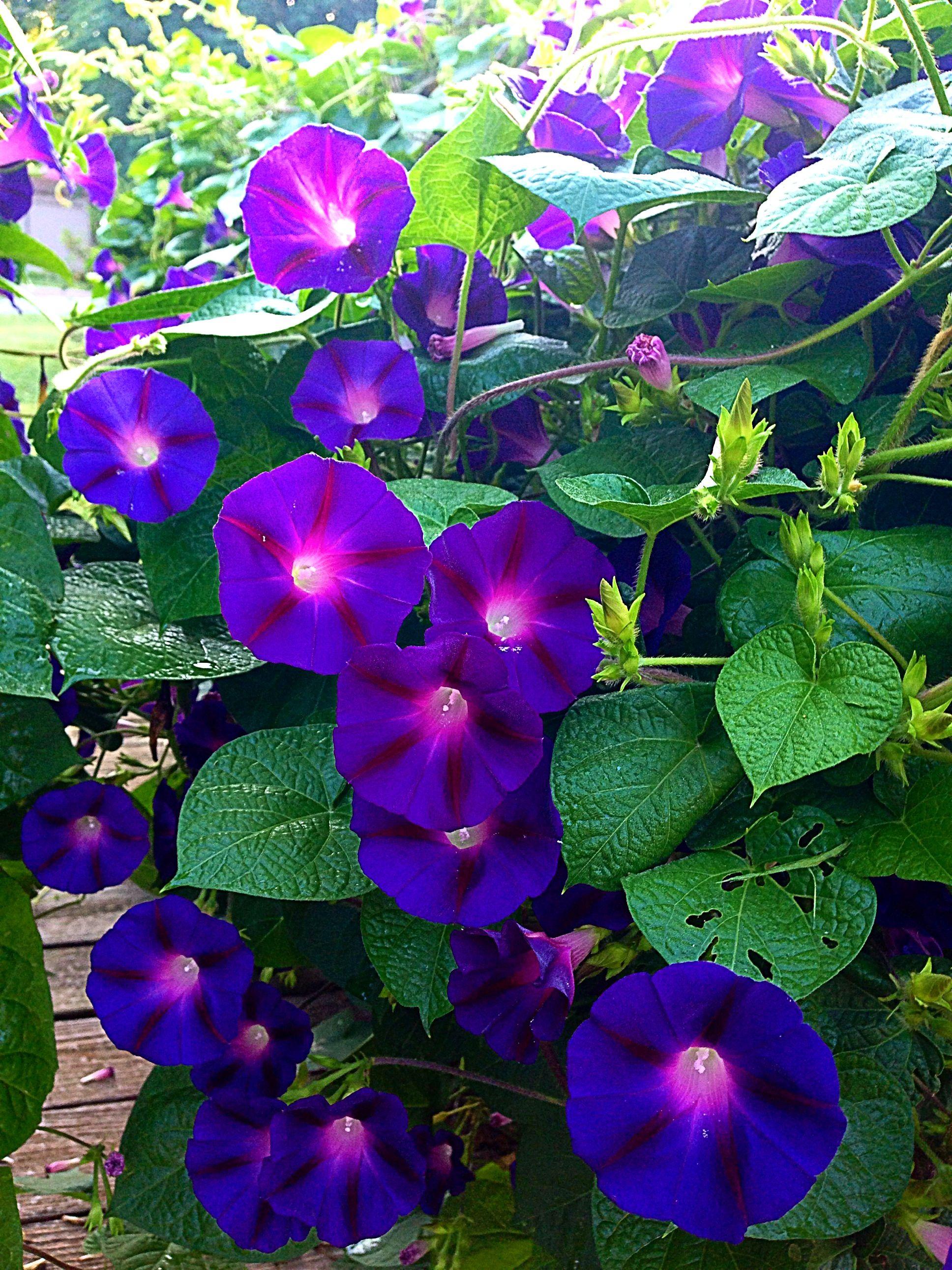 Morning Glories Beautiful Flowers Morning Glory Flowers Virtual Flowers