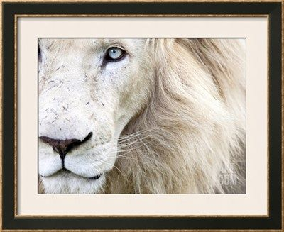 Full Frame Close Up Portrait of a Male White Lion with Blue Eyes. South Africa. Photographic Print by Karine Aigner at Art.com