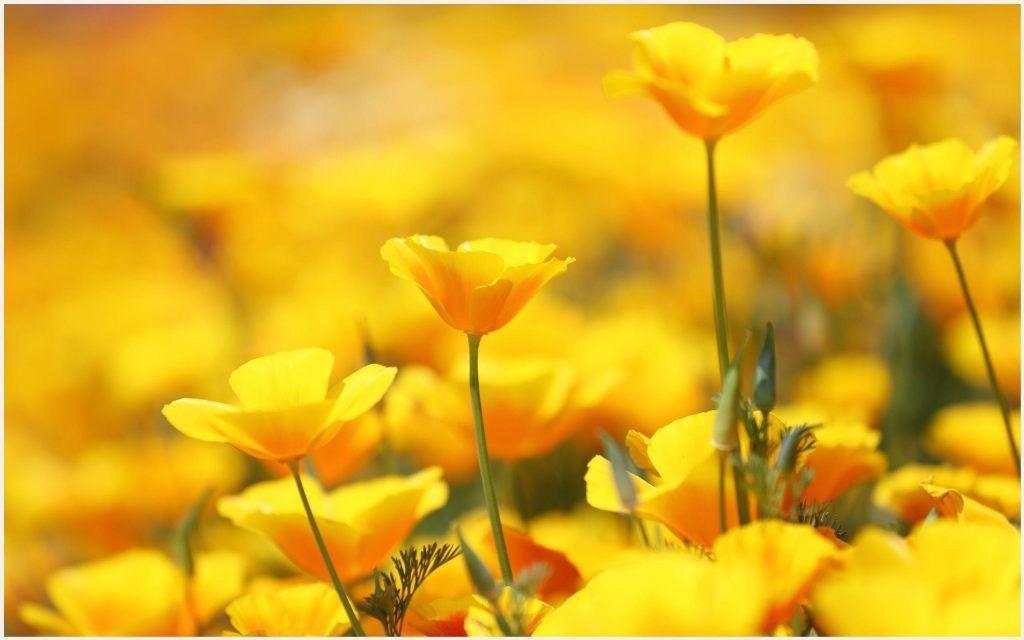 Beautiful Yellow Flowers Wallpaper | beautiful yellow flowers wallpapers, beautiful yellow rose ...