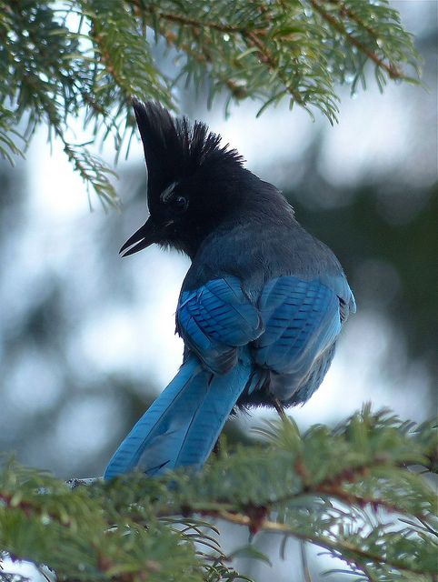 Steller's Jay | Flickr - Photo Sharing!