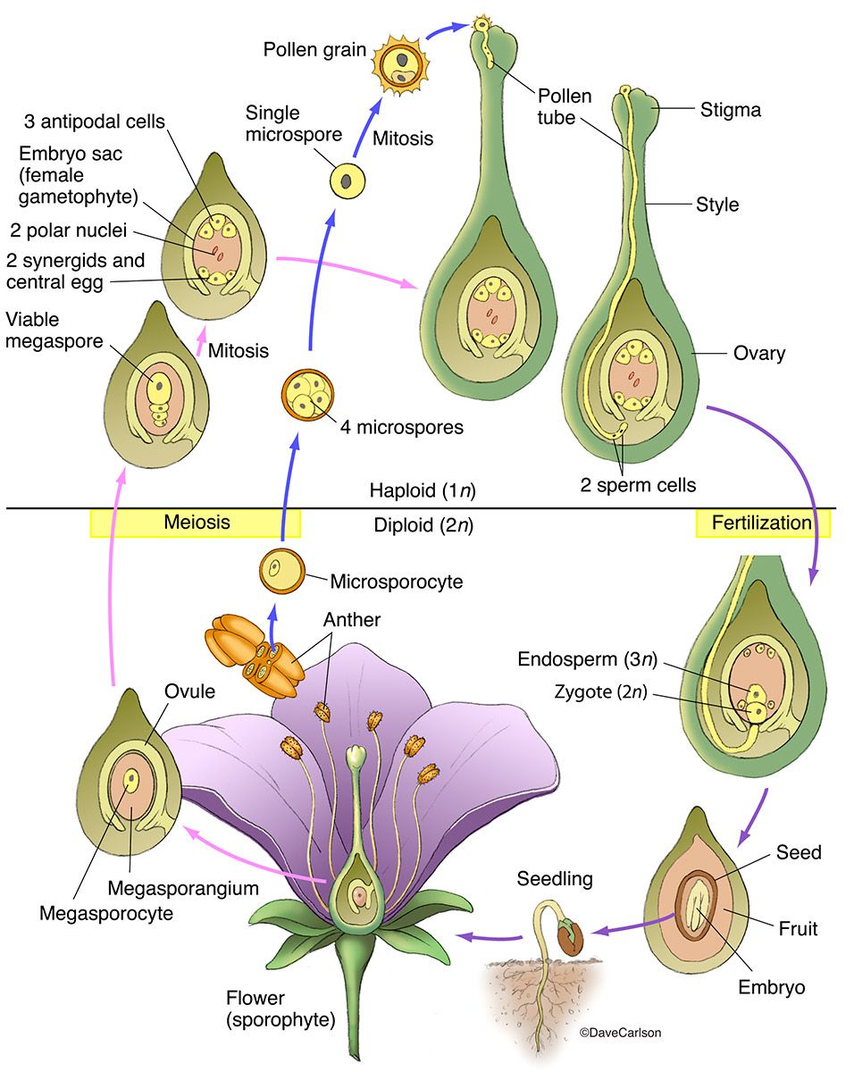 Angiosperm Structure & Life Cycle photo   Biology plants ...