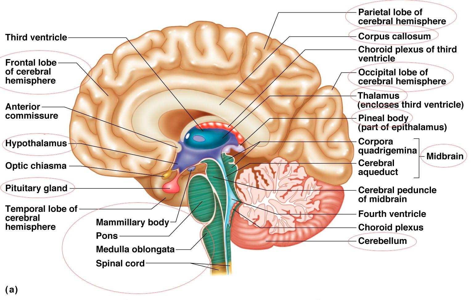Image result for brain anatomy | brain | Pinterest | Brain anatomy ...