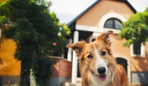 В съвременния свят освен като овчарско куче бордър колито може да се възприеме като пазач на къщата, както и като член на семейството.