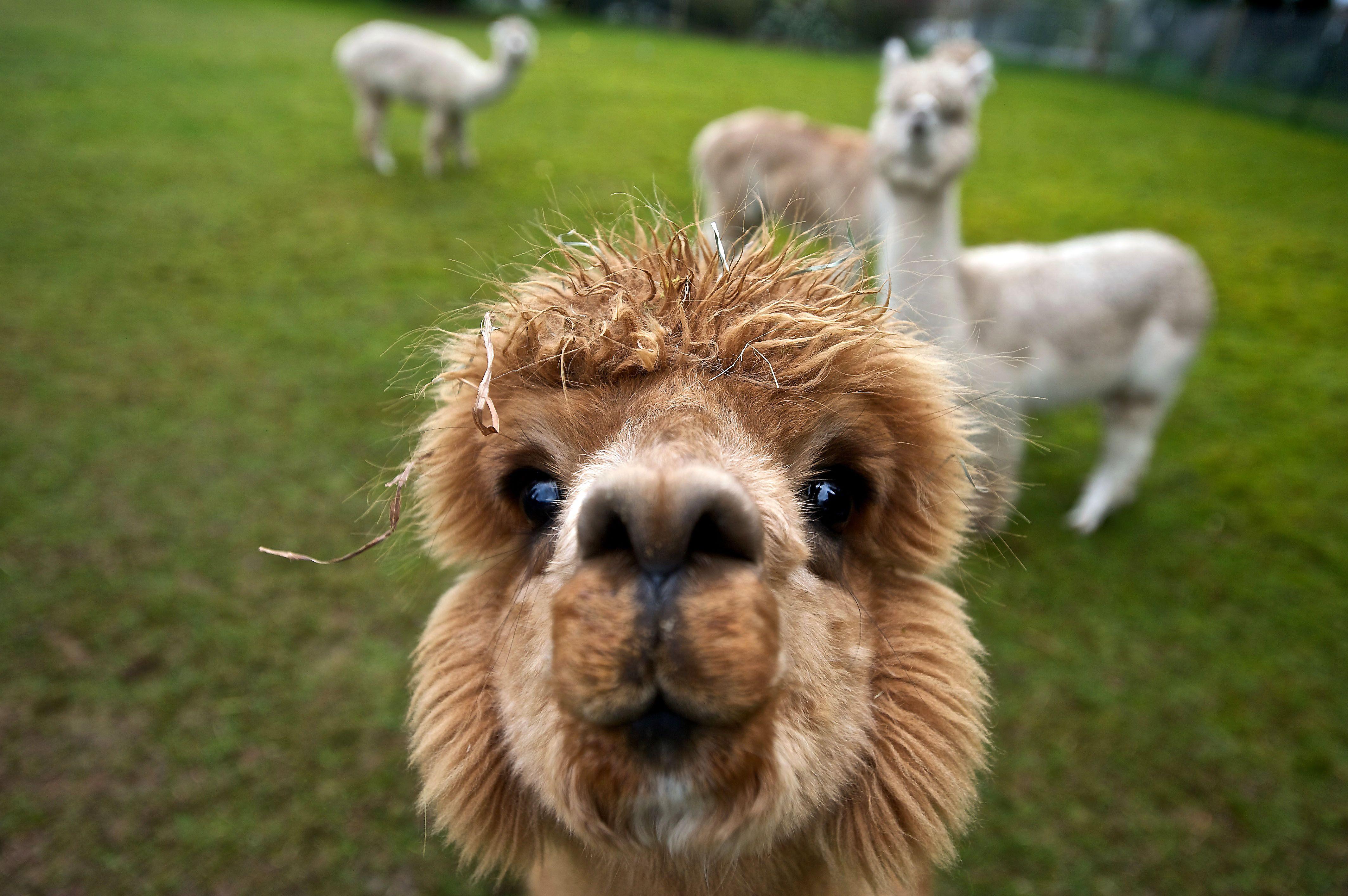 Image result for cute alpaca wallpaper Funny animals