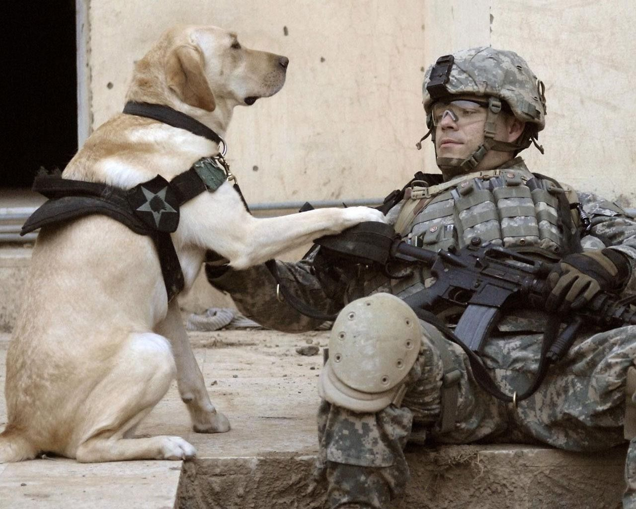 Labrador Retriever With Soldier Glossy Poster Picture Photo Army War Dog Us  1367