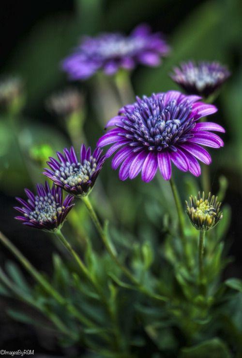 Osteospermum Flowers Pinterest Flowers Purple Flowers And
