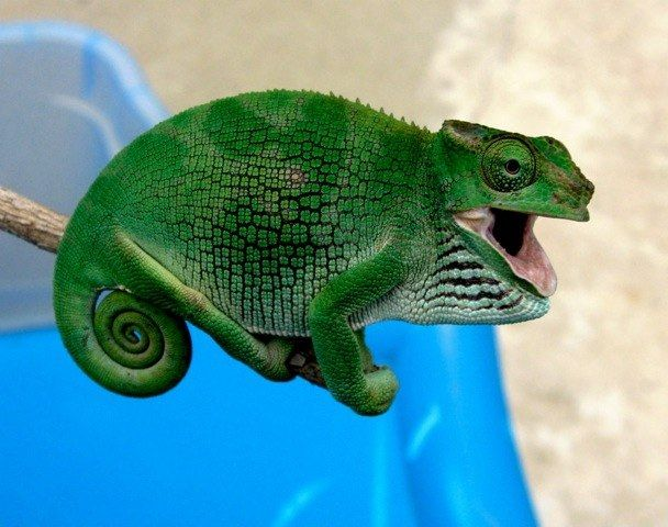 K Multituberculata Female Fischer S Chameleon Image By Louis