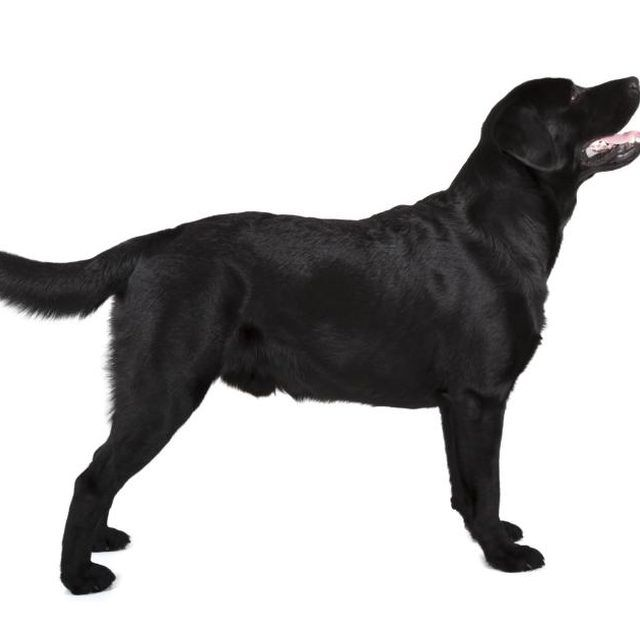 Life Expectancy For A German Shepherd Black Lab Mix Cuteness