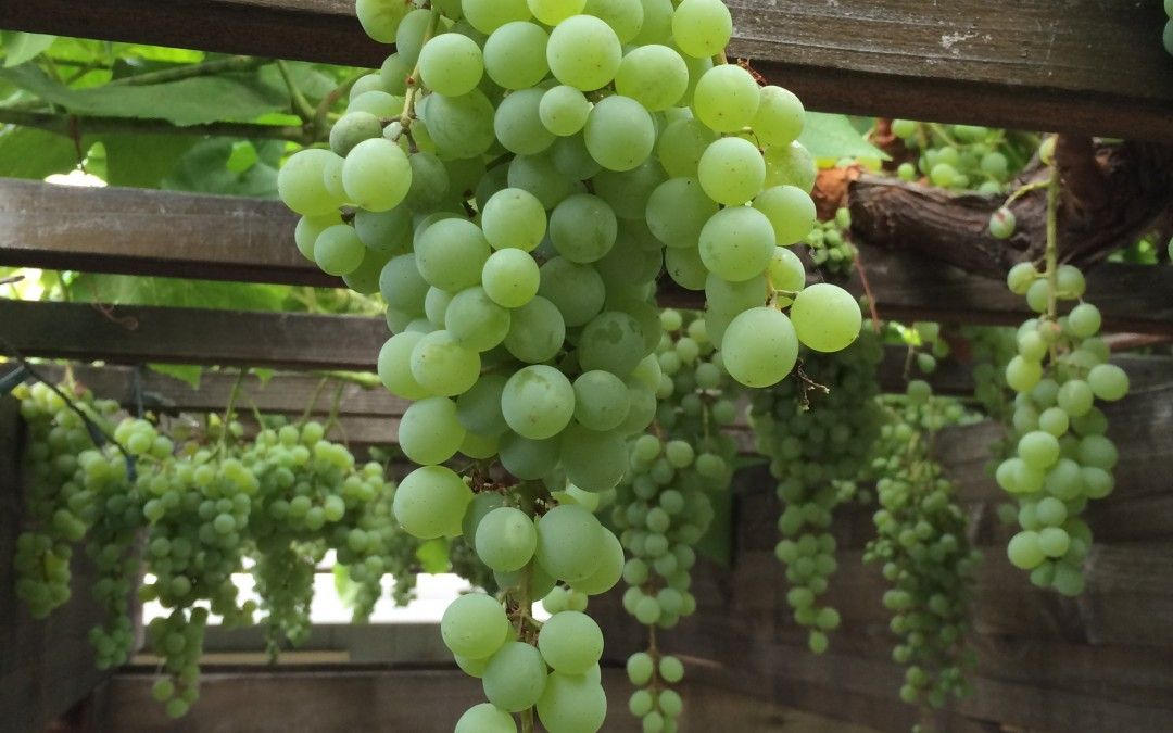 Image result for home garden grapes