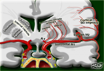 Medial lenticulostriate arteries Branches of the A1-segment of the anterior cerebral artery. They supply the anterior inferior parts of the basal nuclei and the anterior limb of the internal capsule. Lateral lenticulostriate arteries Branches of the horizontal M1-segment of the middle cerebral artery. They supply the superior part of the head and the body of the caudate nucleus, most of the globus pallidus and putamen and the posterior limb of the internal capsule