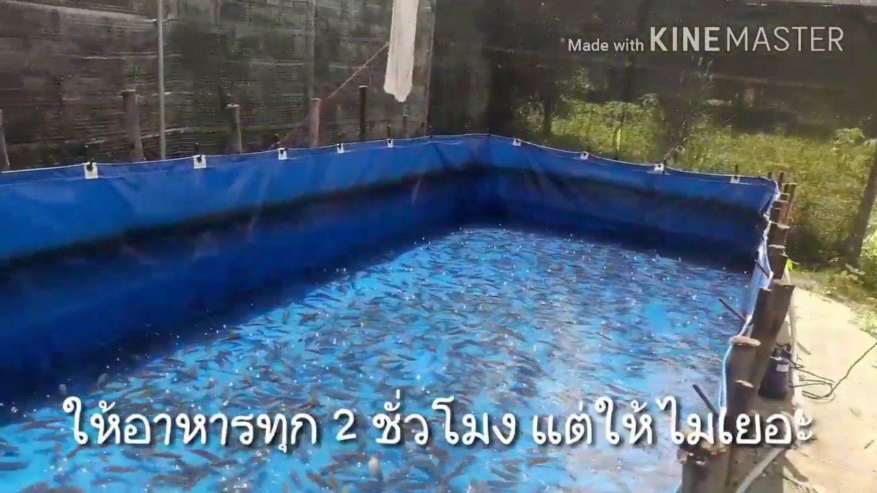 เล ยงปลาหมอพ นธ ช มพร1 เล ยงในบ อผ าใบ Ep 3 เด อนท 2 ฟาร มค ณแอ ะ ต พร พร อ นาสาร จ ส ราษฎร Youtube กบ