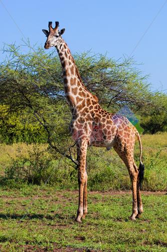 Stock Photo Of Giraffe On Savanna Safari In Serengeti Tanzania Africa Hươu