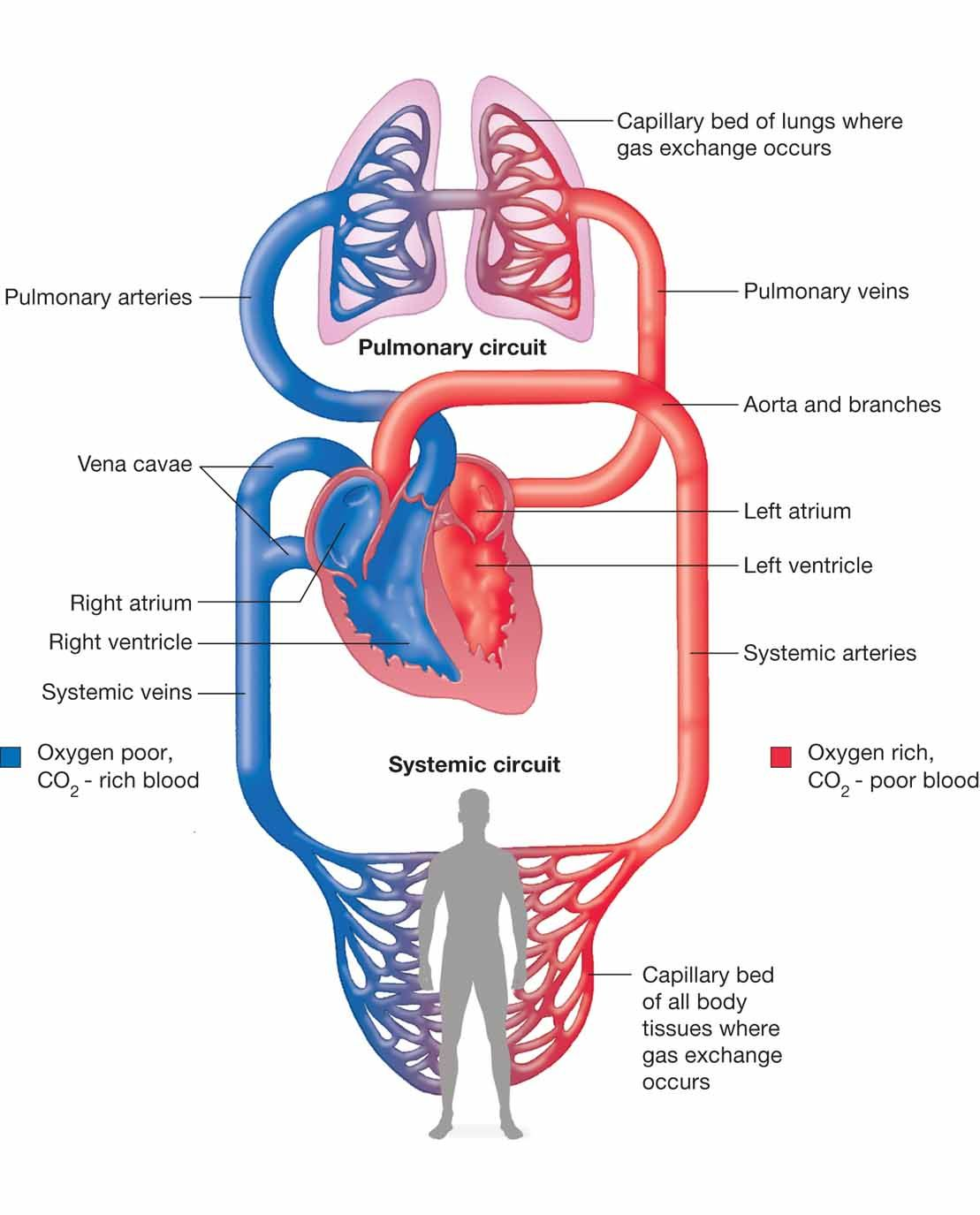 Pulmonary And Systemic Circulation Concept Map.Human Circulatory System Diagram Photos Systemic And Pulmonary