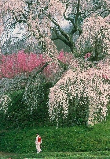 Cherry blossoms, Yoshino, Japan