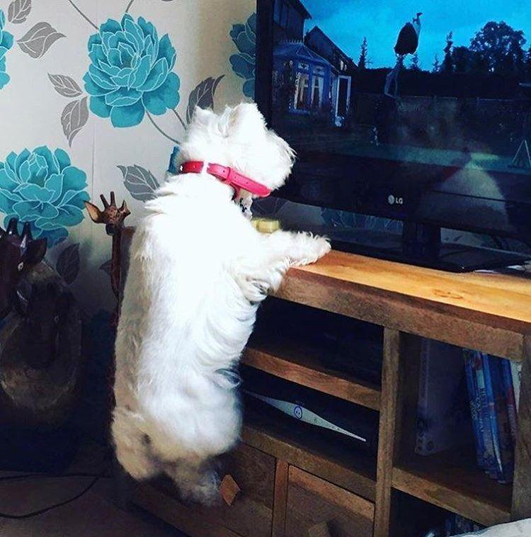 @westiegram #westie #westies #westiegram #westiesofinstagram #westielove #westhighlandterrier #westhighlandwhiteterrier #westhighland #dog #dogsofinstagram #puppy