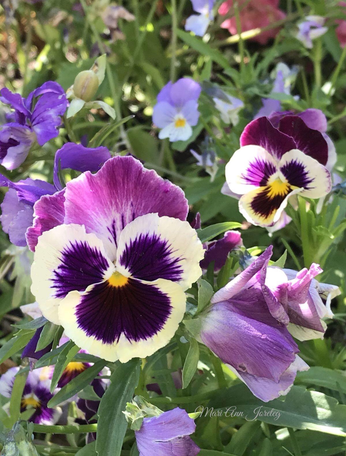Pin By Helene Girard On Jardinage Pansy Garden Pansies Beautiful Blooms