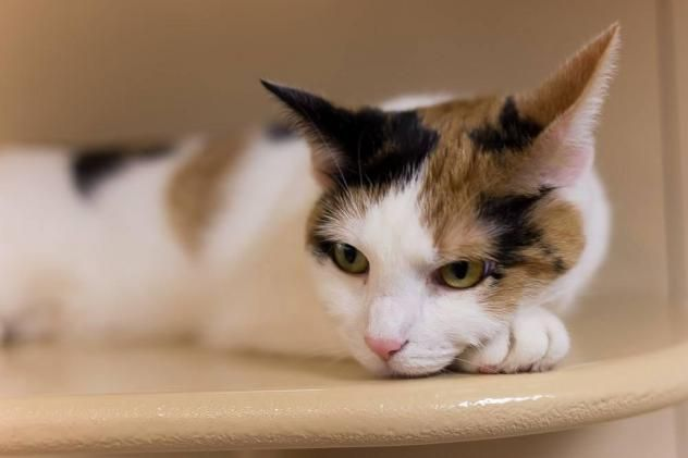 Adopt Enigma on Cats, Short hair cats, Animals