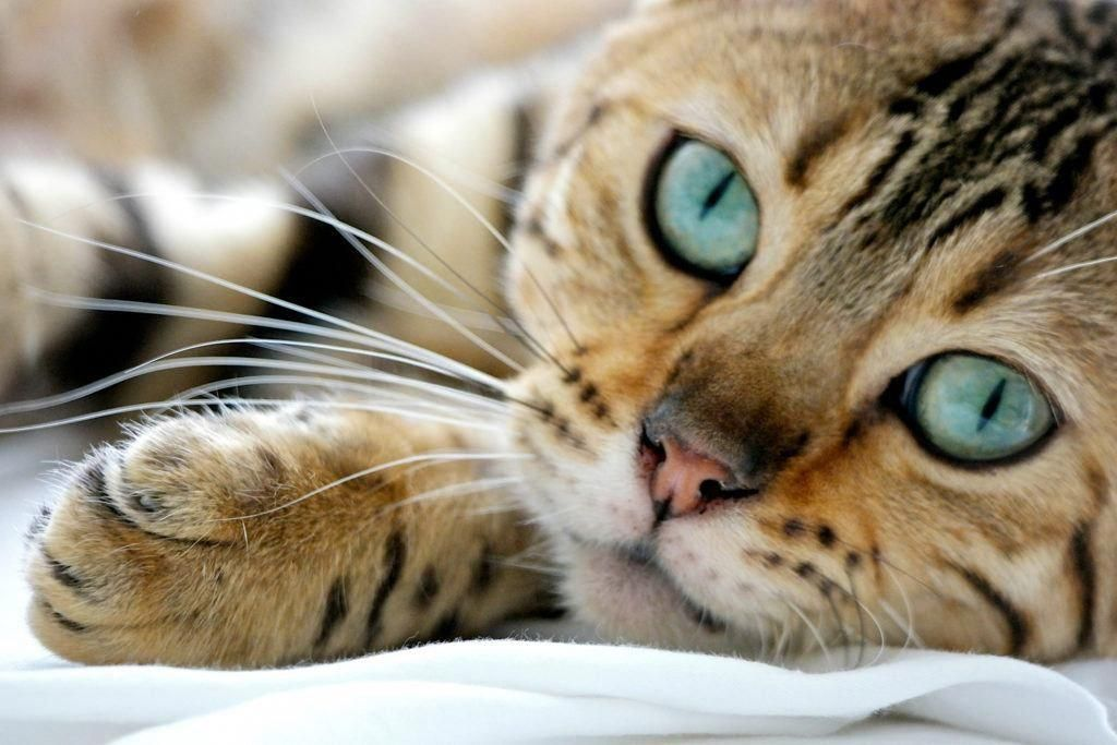 Catfacts Bengal Cat Facts Bengal Cat Cost Cat Facts
