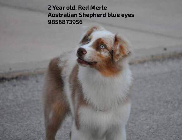 Rehoming #BatonRouge #LA 2 Year old, Red Merle #AustralianShepherd