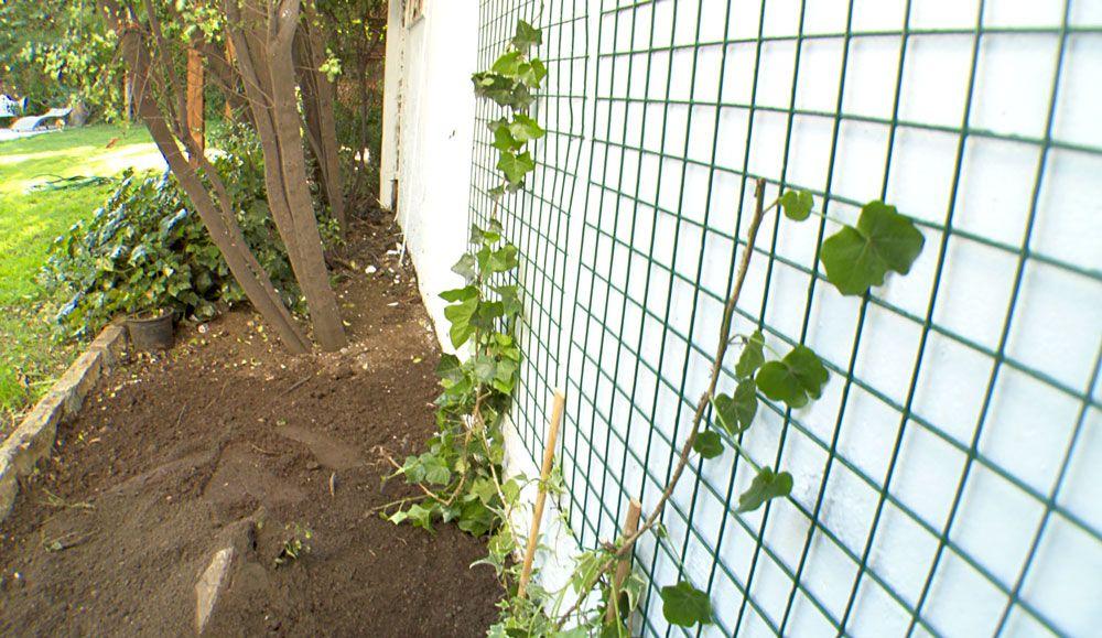 Ve aqu c mo guiar una planta trepadora para cubrir un - Plantas trepadoras para muros ...