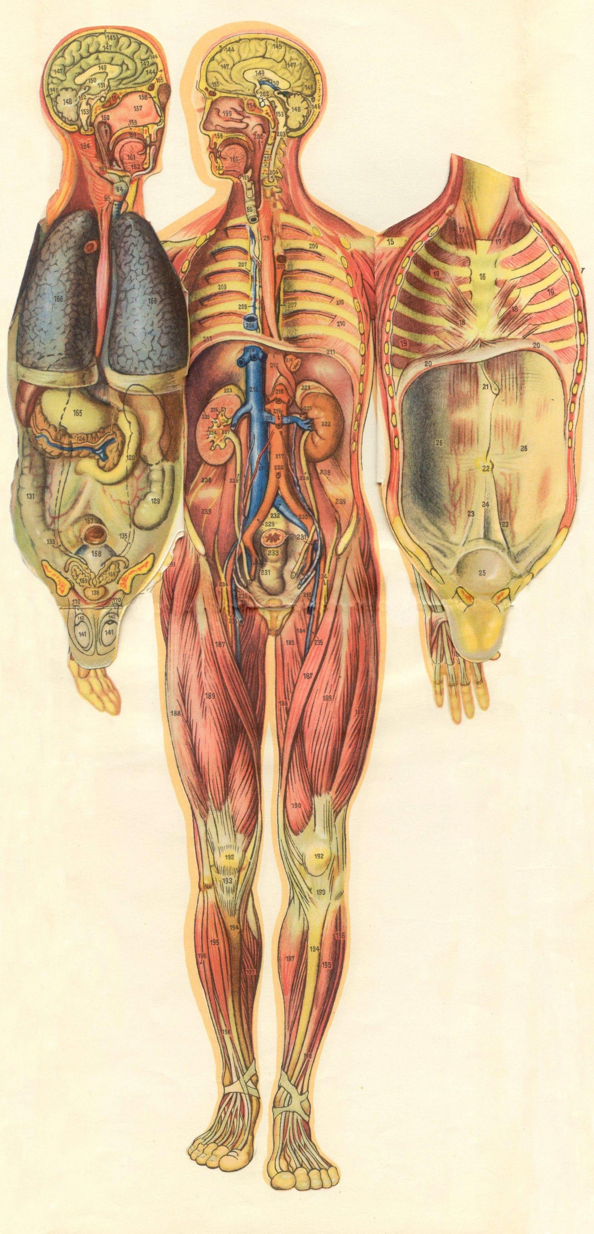 Pin de victoria l outerbridge en anatomy | Pinterest | Ilustracion ...