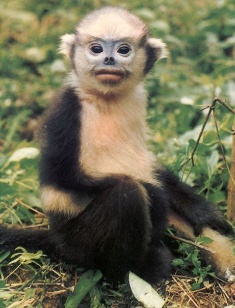 Image result for tonkin snub-nosed monkey