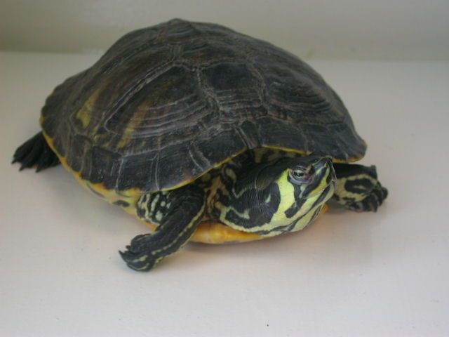 Turtle - Yellow Bellied